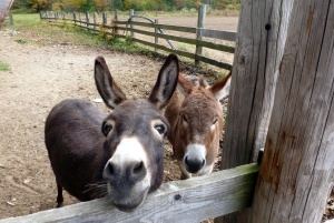 Molly's donkeys
