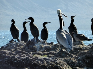 Cormoran and Pelicans