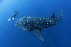 belize-whale-shark-630