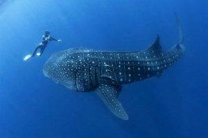 belize-whale-shark-630
